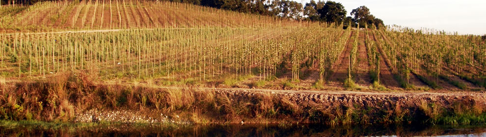 Plantas de piadela for Viveros arboles ornamentales
